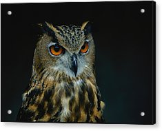 African Eagle Owls Are Among The 200 Acrylic Print by Joel Sartore