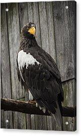 African Eagle Acrylic Print