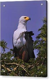 African Fish Eagle Acrylic Print by Richard Matthews