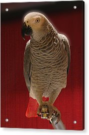 African Grey Parrot Orteil Blanc Acrylic Print by Jonathan Whichard