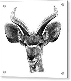 African Kudu Acrylic Print