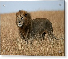 African Lion Acrylic Print