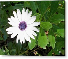 African Moon Flower Acrylic Print by Lisa Phillips