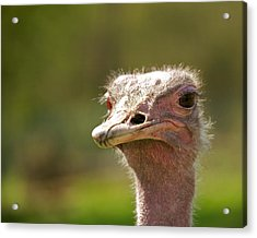 African Ostrich Acrylic Print by Ivan SABO