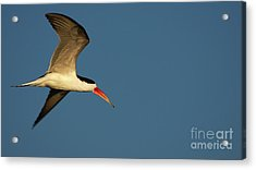 African Skimmer Acrylic Print