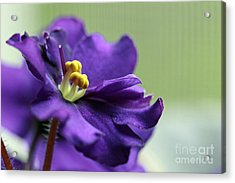 Acrylic Print featuring the photograph African Violet by Denise Pohl