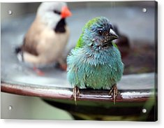 After The Bath Acrylic Print by Andrea  OConnell