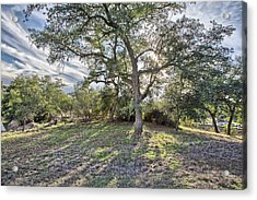 Afternoon Oak With Cirrus Acrylic Print