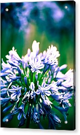 Agapanthus Acrylic Print by Carole Hinding