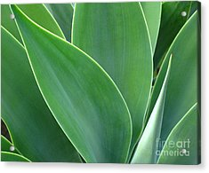 Acrylic Print featuring the photograph Agave 2 by Ranjini Kandasamy