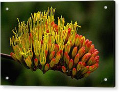 Agave Bloom Acrylic Print