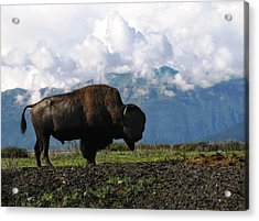 Acrylic Print featuring the photograph Alaskan Buffalo by Katie Wing Vigil