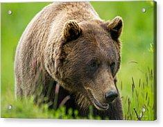 Alaskan Grizzly Acrylic Print by Adam Pender
