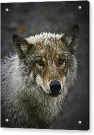 Alaskan Wolf Acrylic Print