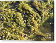 Algae Bloom In A Pond Acrylic Print by Photo Researchers, Inc.