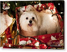 All Wrapped Up Acrylic Print by Leslie Leda