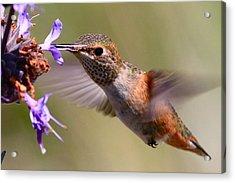 Allen's Hummingbird Acrylic Print by Paul Marto
