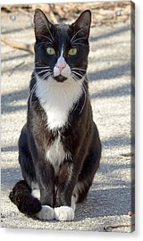 Alley Cat Acrylic Print by Lisa Phillips