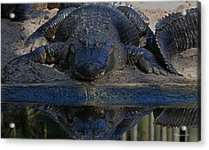 Alligator And Reflection Acrylic Print by Dorothy Cunningham