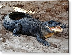 Acrylic Print featuring the photograph Alligator At The Everglades by Pravine Chester