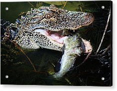 Alligator Eating A Catfish Acrylic Print by Paulette Thomas