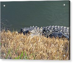 Alligator Eyes Acrylic Print