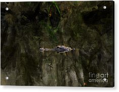 Acrylic Print featuring the photograph Alligator In Swamp by Dan Friend