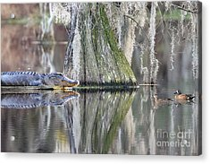 Acrylic Print featuring the photograph Alligator Waiting For Dinner by Dan Friend