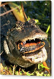 Alligator With A Turtle Acrylic Print