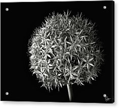 Acrylic Print featuring the photograph Allium In Black And White by Endre Balogh