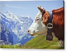 Alpine Cow Acrylic Print by Greg Stechishin