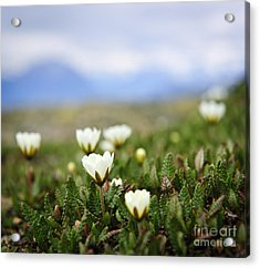 Alpine Meadow In Jasper National Park Acrylic Print by Elena Elisseeva
