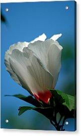 Althea Flower Acrylic Print by David Weeks