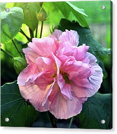 Althea Rose Of Sharon Acrylic Print by Kevin Smith