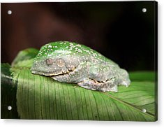 Amazon Leaf Frog Acrylic Print