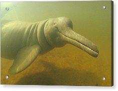 Amazon River Dolphin Portrait Brazil Acrylic Print by Flip Nicklin