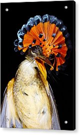 Amazonian Royal Flycatcher Acrylic Print by Dr Morley Read