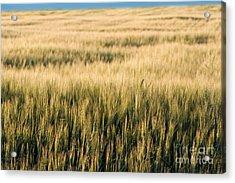 Amber Waves Of Grain Acrylic Print by Cindy Singleton