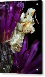 Acrylic Print featuring the photograph Ambush Bug On Ironweed by Daniel Reed