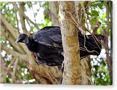 Acrylic Print featuring the photograph Amercan Black Vulture by Pravine Chester