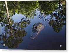American Alligator In The Okefenokee Swamp Acrylic Print