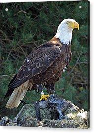 American Bald Eagle Acrylic Print by Kathy Eastmond