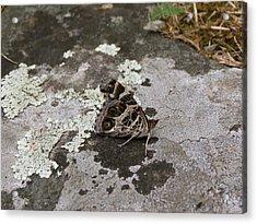 American Beauty Butterfly On Rock Acrylic Print