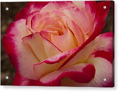 American Beauty Rose Acrylic Print by Darleen Stry