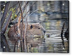 American Beaver Acrylic Print