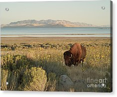 Acrylic Print featuring the photograph American Bison Antelope Island Utah by Doug Herr