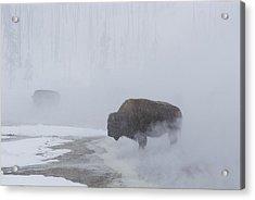 American Bison Bison Bison Graze Acrylic Print by Norbert Rosing