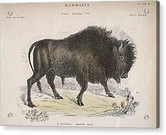 American Bison Acrylic Print by Hulton Archive