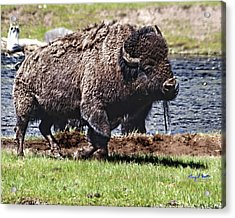 American Bison Img 8881   2012 Acrylic Print by Torrey E Smith