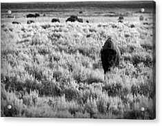 American Bison In Black And White Acrylic Print by Sebastian Musial